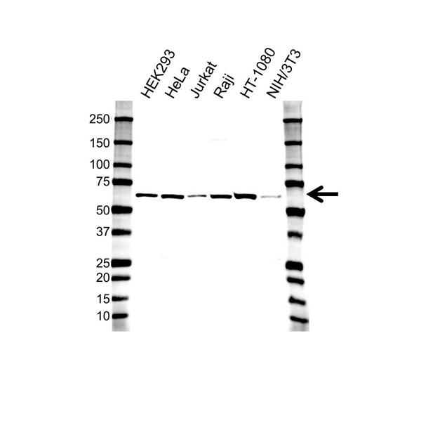 MMP-14 Hemopexin Antibody (PrecisionAb<sup>TM</sup> Antibody) gallery image 1