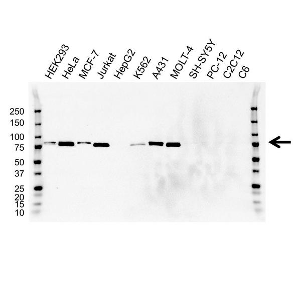 MMP-2 Antibody (PrecisionAb<sup>TM</sup> Antibody) gallery image 1