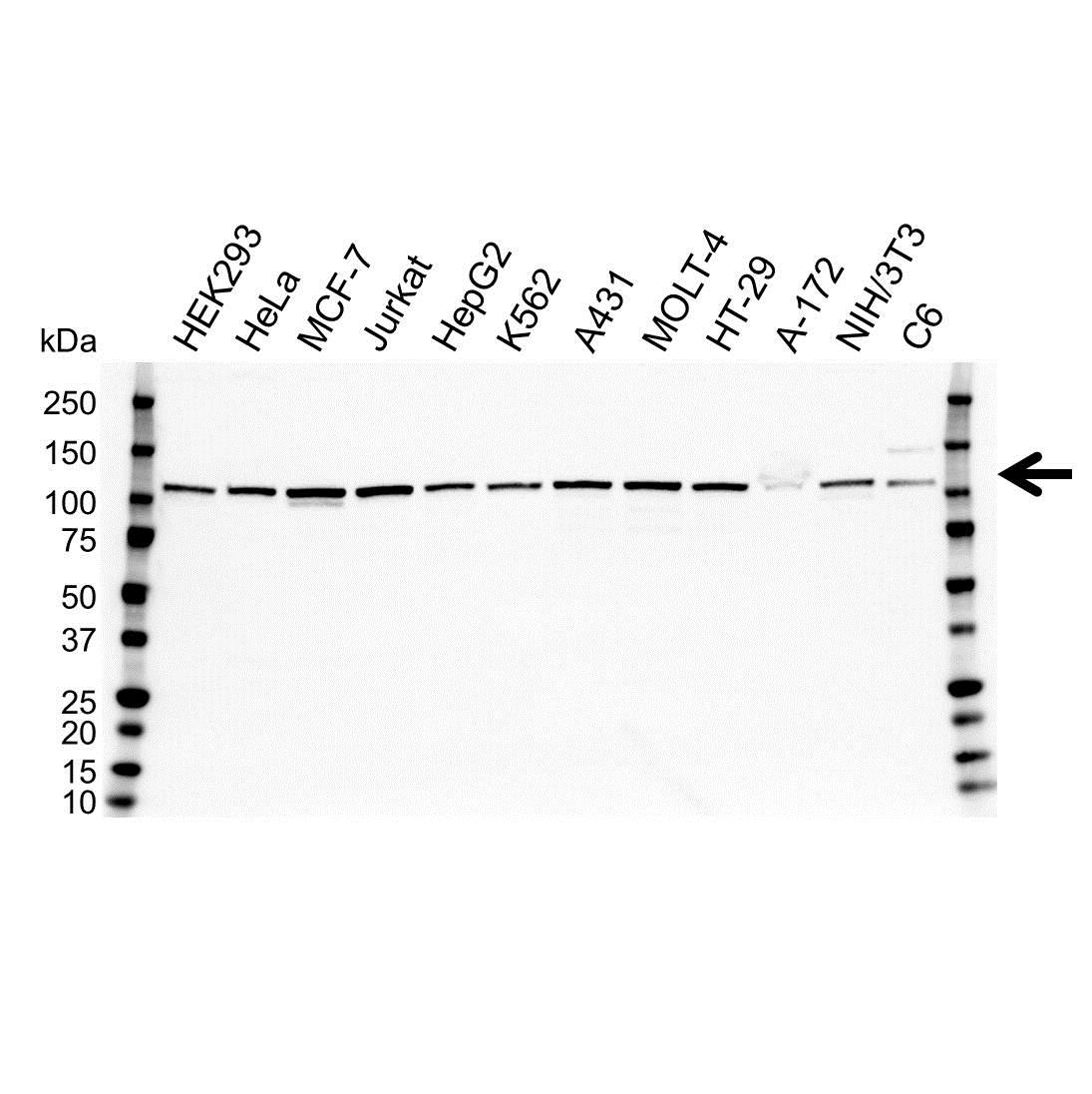 MTHFD1L Antibody (PrecisionAb<sup>TM</sup> Antibody) gallery image 1