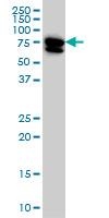 MTMR2 Antibody   4G6 gallery image 1