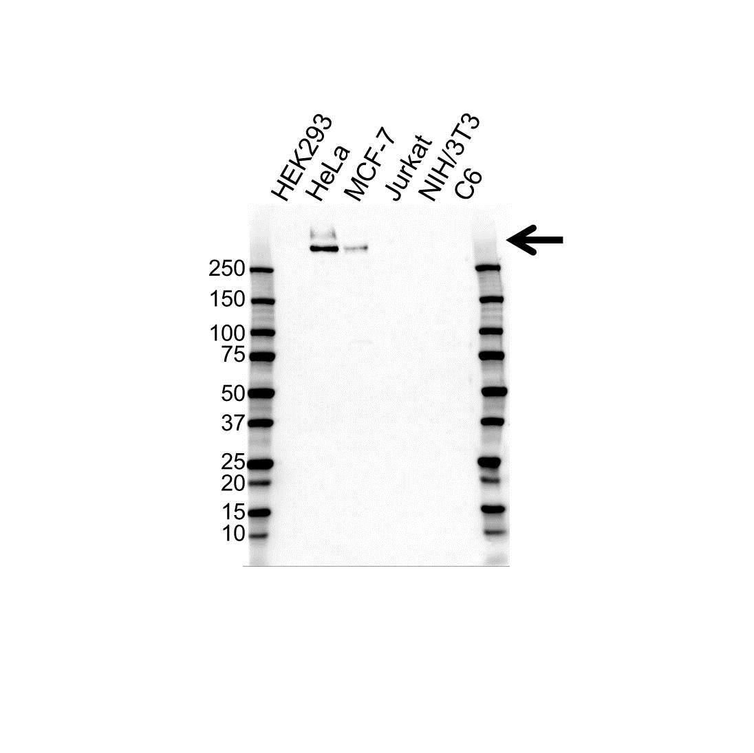 MUCIN 1 Antibody (PrecisionAb<sup>TM</sup> Antibody) gallery image 1