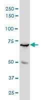 MYBL2 Antibody | 4B4 gallery image 1