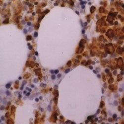 Myeloperoxidase Antibody | 2C7 gallery image 1