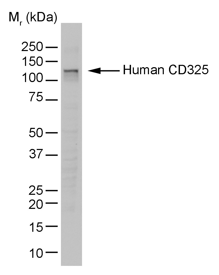 N-Cadherin Antibody | 13A9 gallery image 1