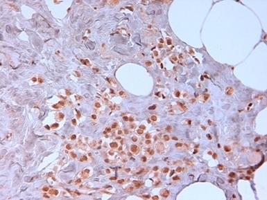 N-Cadherin Antibody | 13A9 gallery image 3