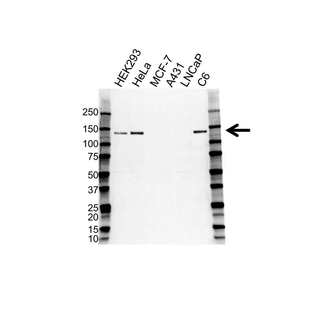 N-Cadherin Antibody (PrecisionAb<sup>TM</sup> Antibody) | OTI2G7 gallery image 1