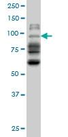 NBR1 Antibody | 6B11 gallery image 1