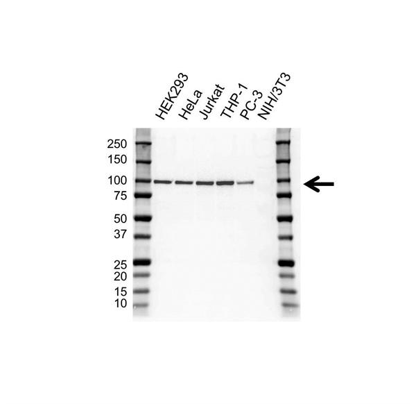 NBS1 Antibody (PrecisionAb<sup>TM</sup> Antibody) | UMAB100 gallery image 1