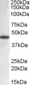 NCF1 Antibody gallery image 1