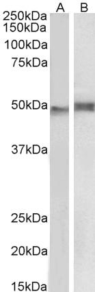 NCF1 Antibody gallery image 2