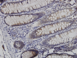 Necdin Antibody | 1B3 gallery image 2