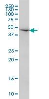 Necdin Antibody | 1B3 gallery image 1