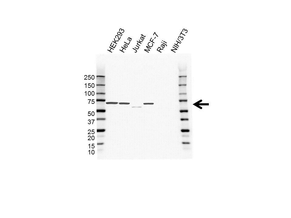 Nemo-Like Kinase Antibody (PrecisionAb<sup>TM</sup> Antibody) gallery image 1