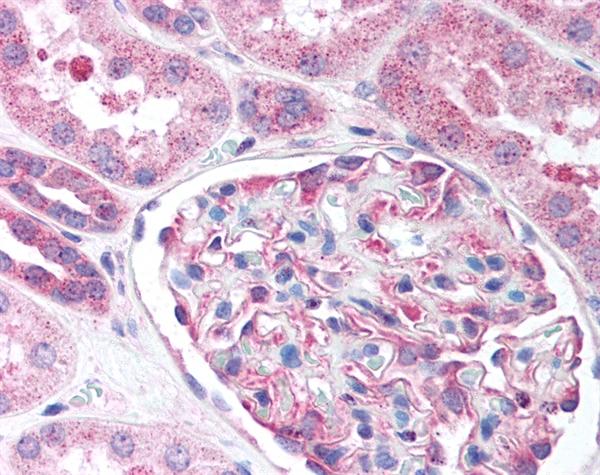 Nestin Antibody gallery image 1