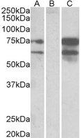 Neurexin 1 Antibody gallery image 1