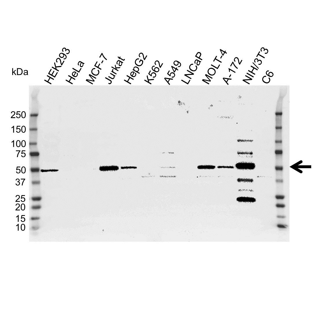 Neuron Specific Enolase Antibody (PrecisionAb<sup>TM</sup> Antibody) gallery image 1