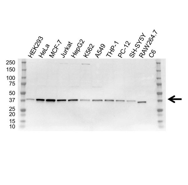 NF Kappa B Inhibitor Alpha Antibody (PrecisionAb<sup>TM</sup> Antibody) | OTI1D4 gallery image 1