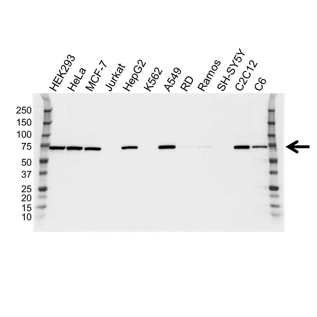 NFE2L2 Antibody (PrecisionAb<sup>TM</sup> Antibody) gallery image 2