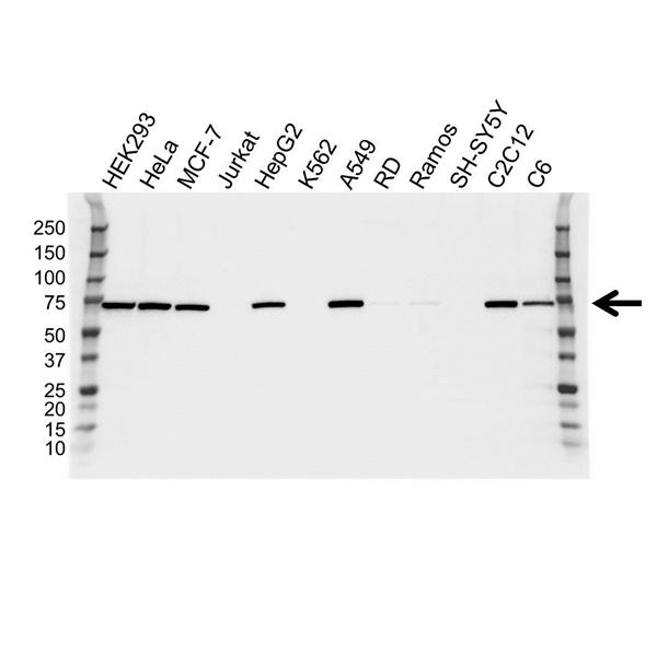 NFE2L2 Antibody (PrecisionAb<sup>TM</sup> Antibody) gallery image 1