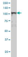 NFkB p105 Antibody | 3F6 gallery image 1