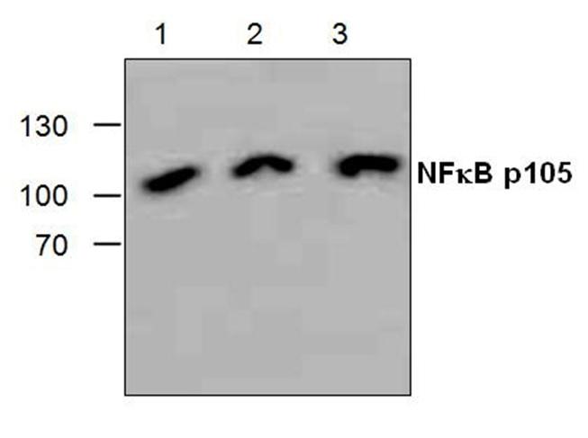 NFkB p105 Antibody gallery image 1