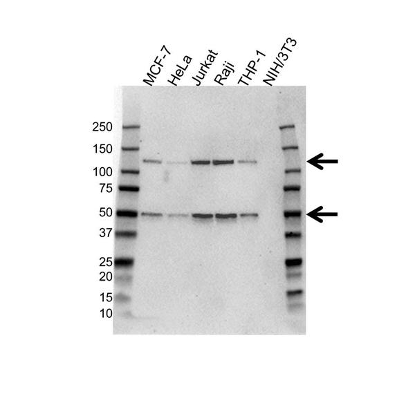 NFkB p50 Antibody (PrecisionAb<sup>TM</sup> Antibody) gallery image 1