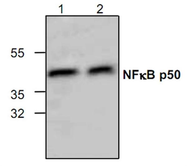 NFkB p50 Antibody gallery image 1