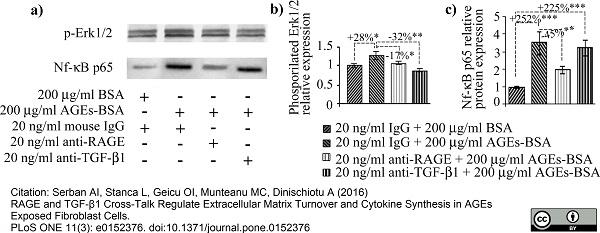 NFkB p65 Antibody (PrecisionAb<sup>TM</sup> Antibody) gallery image 3