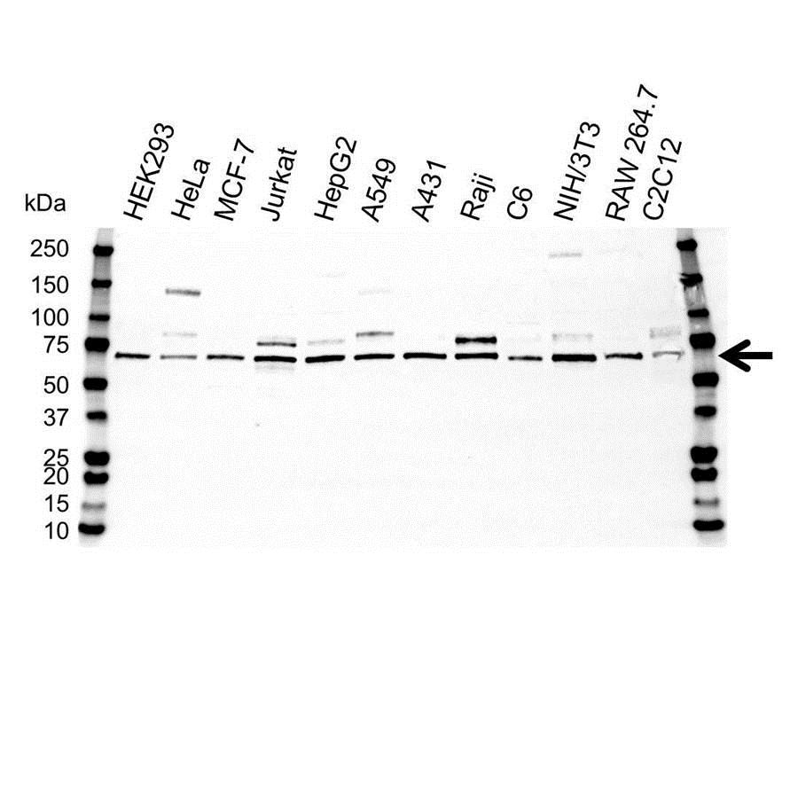 NFkB p65 Antibody (PrecisionAb<sup>TM</sup> Antibody) gallery image 1