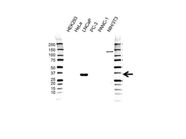 NKX3-1 Antibody (PrecisionAb<sup>TM</sup> Antibody) | UMAB195 gallery image 1