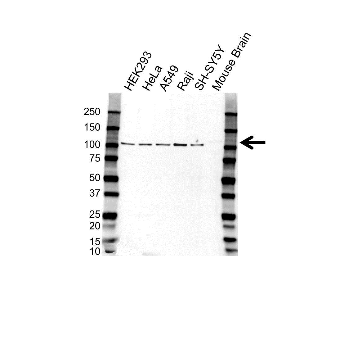 NMDAR1/NR1 Antibody (PrecisionAb<sup>TM</sup> Antibody) gallery image 1