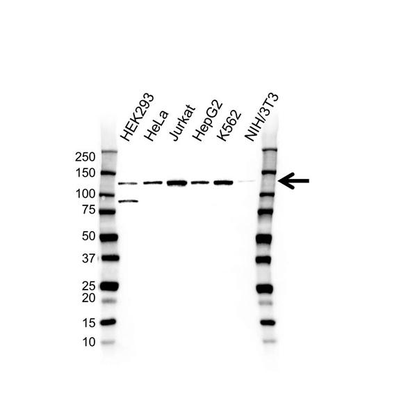 NOLC1 Antibody (PrecisionAb<sup>TM</sup> Antibody) gallery image 1