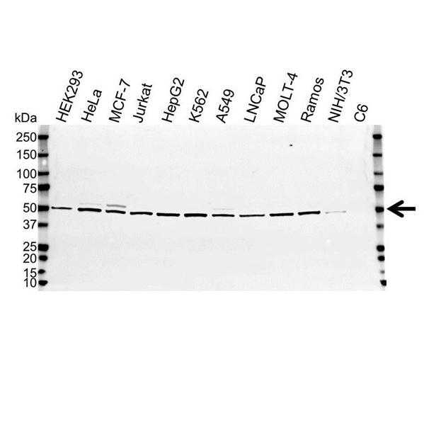 Non-Neuronal Enolase Antibody (PrecisionAb<sup>TM</sup> Antibody) gallery image 1