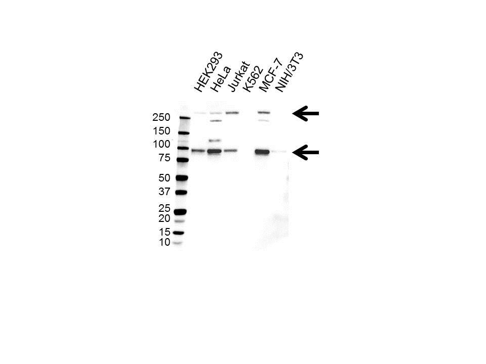 Notch 3 Antibody (PrecisionAb<sup>TM</sup> Antibody) gallery image 1
