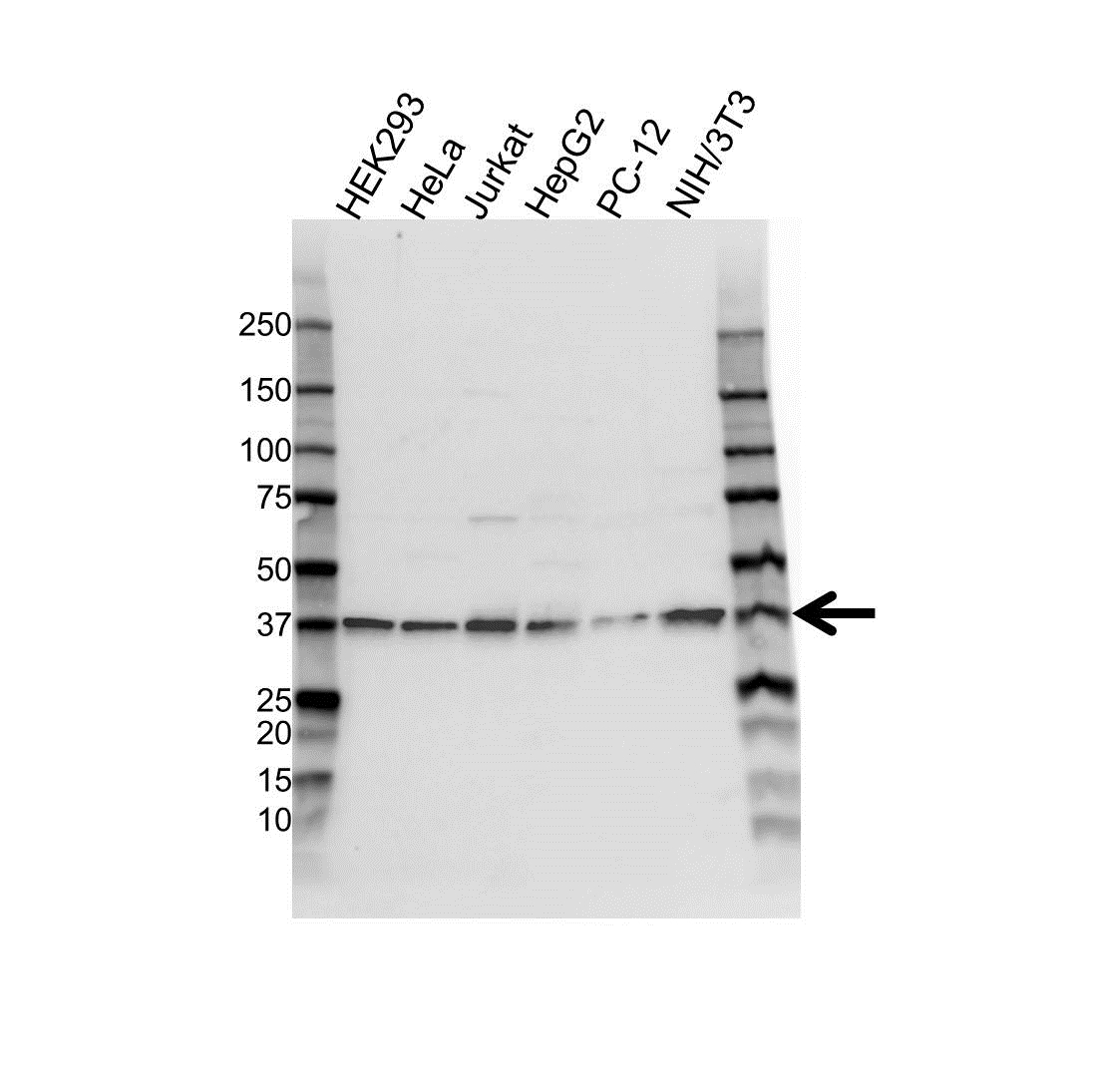 NPM Antibody (PrecisionAb<sup>TM</sup> Antibody) gallery image 1