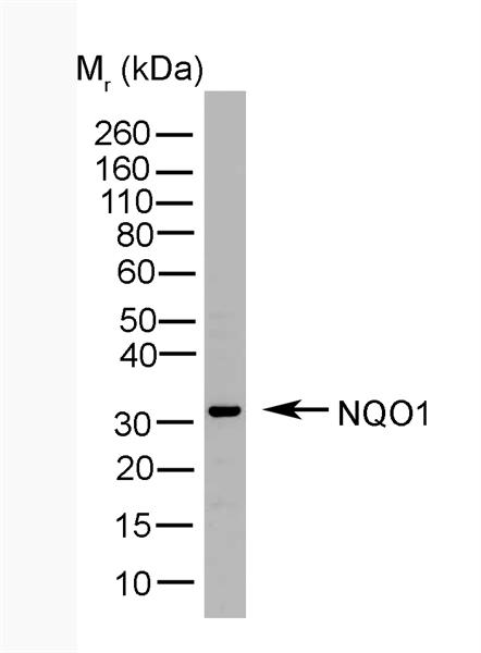 NQO1 Antibody | A180 gallery image 1