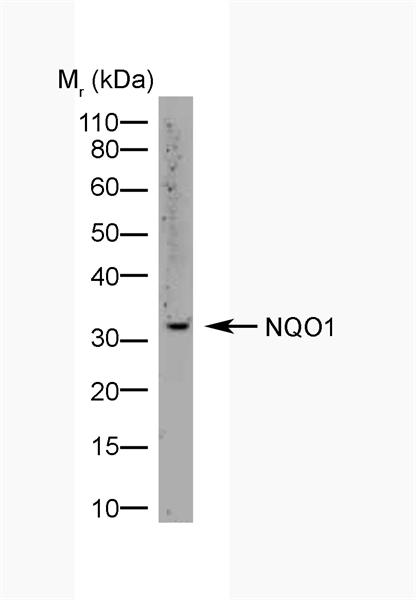 NQO1 Antibody | A180 gallery image 2