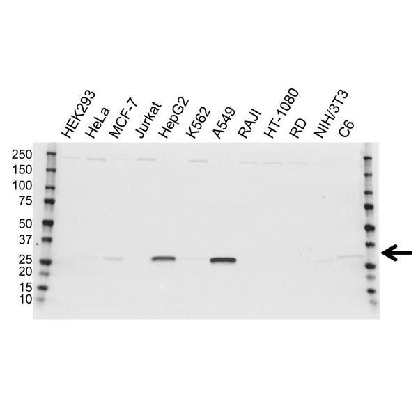 NQO1 Antibody (PrecisionAb<sup>TM</sup> Antibody) gallery image 1