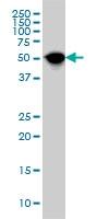 NR1H4 Antibody | 1G11 gallery image 1