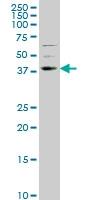 NR2E1 Antibody | 1C4 gallery image 1