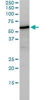 NUCB1 Antibody | 1H8-2C11 gallery image 3