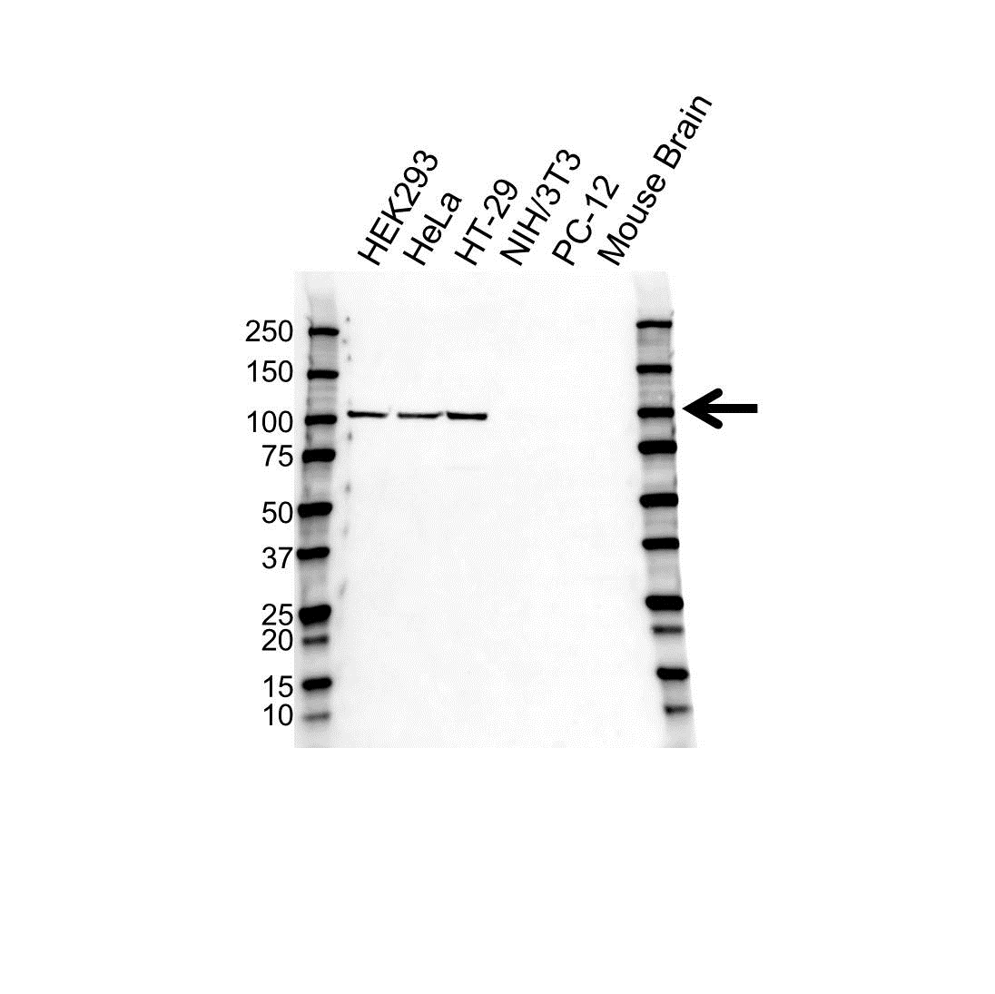 Nucleolin Antibody (PrecisionAb<sup>TM</sup> Antibody) gallery image 1