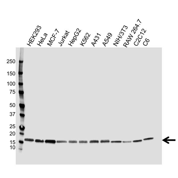 Nucleoside Diphosphate Kinase A Antibody (PrecisionAb<sup>TM</sup> Antibody) gallery image 1