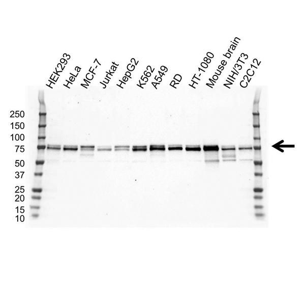 NUMB Antibody (PrecisionAb<sup>TM</sup> Antibody) | OTI3E5 gallery image 1