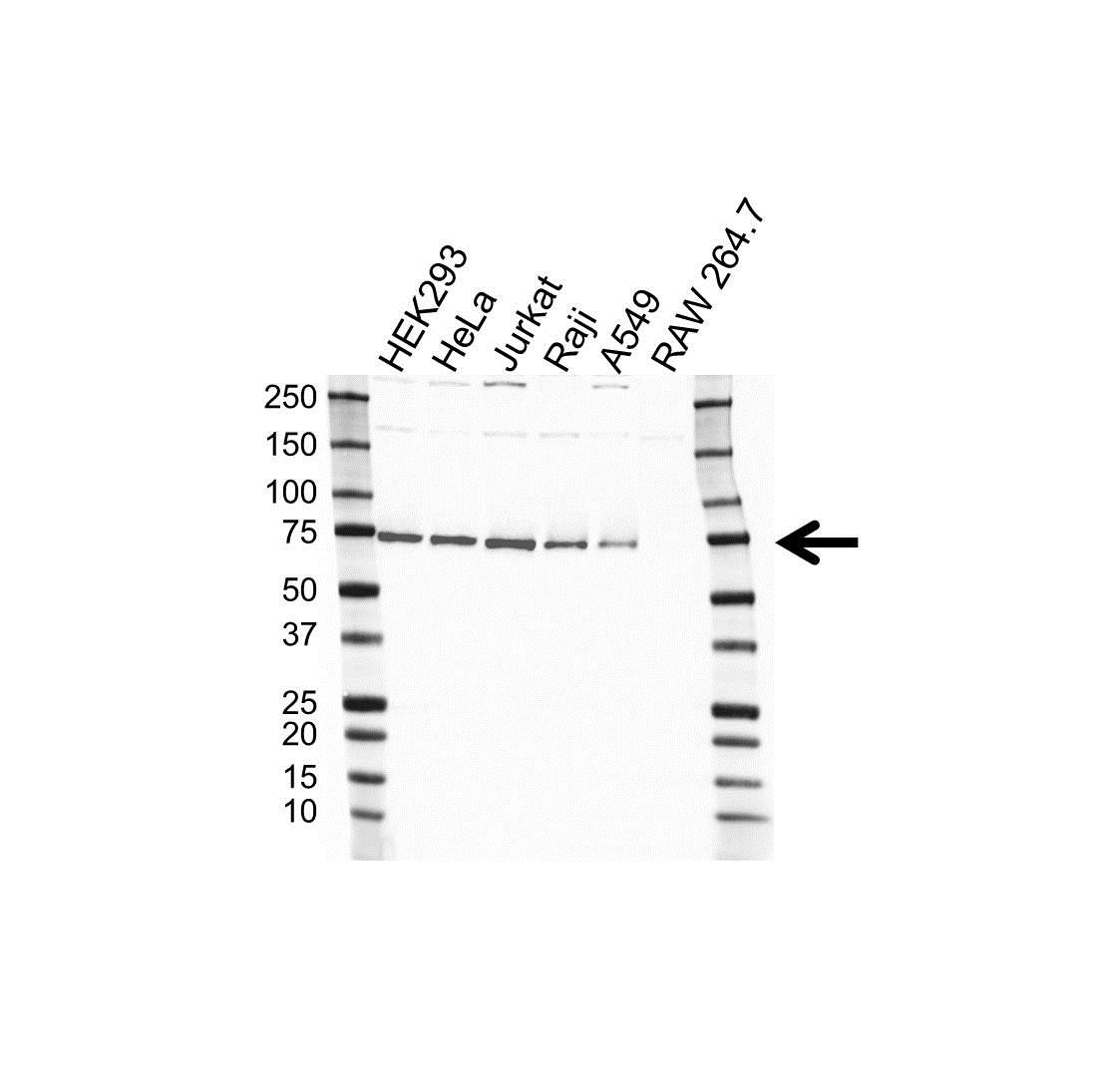 NXF1 Antibody (PrecisionAb<sup>TM</sup> Antibody) gallery image 1