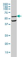 OCLN Antibody | 1G7 gallery image 1