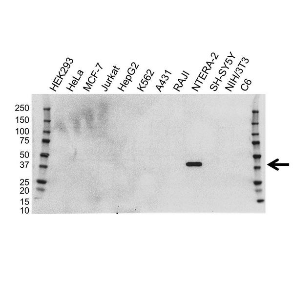 OCT4 Antibody (PrecisionAb<sup>TM</sup> Antibody) | OTI2B6 gallery image 1