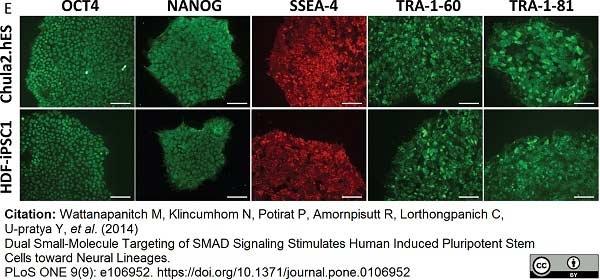 OCT4 Antibody | PR-2H9 gallery image 1