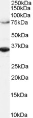 ORC3L Antibody gallery image 1