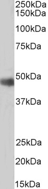 ORC4L Antibody gallery image 2